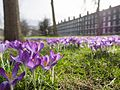 Purple crocus flowers of spring (33185517841).jpg