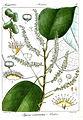 Pygeum acuminatum Rungiah.jpg