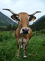 Pyrenean Aubrac cow.jpg