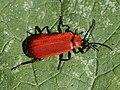Pyrochroa coccinea 82913886.jpg