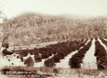 Queensland State Archives 2495 Phillips orchard at MaMa Creek Gatton c 1898.png