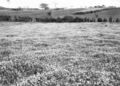 Queensland State Archives 4168 Field of clover Mr Coles Farm Wootha Maleny c 1930.png
