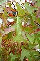 Quercus Coccinea 'Splendens' - JPG.jpg