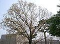 Quercus acutissima9.jpg