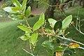Quercus chrysolepis kz03.jpg
