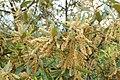Quercus ilex kz05.jpg
