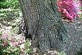 Quercus prinus 19zz.jpg