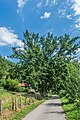 Quercus robur in Aveyron 07.jpg