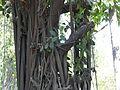 Rabbar Mara (Kannada- ರಬ್ಬರ್ ಮರ) (3522551818).jpg