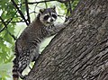 Raccoon (37493711266).jpg