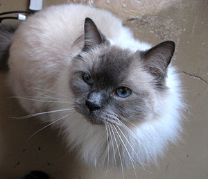 English: A blue color point male Ragdoll cat w...