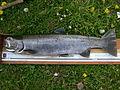 Rainbow trout (SSM Canal) 2.JPG