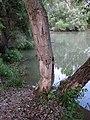 Rajka, Hungary. Beaver damage to a tree on the banks of the Mosoni-Duna (Moson-Danube). - panoramio.jpg
