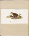 Rana temporaria - 1700-1880 - Print - Iconographia Zoologica - Special Collections University of Amsterdam - UBA01 IZ11500061.tif