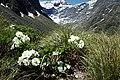 Ranunculus lyallii kz11.jpg