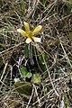 Ranunculus multiscapus kz01.jpg