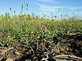 Ranunculus sardous subsp. sardous sl34.jpg