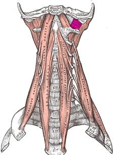 musculus rectus capitis lateralis