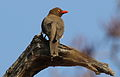 Red-billed Oxpecker, Buphagus erythrorhynchus, at Kruger National Park, South Africa (20894472422).jpg
