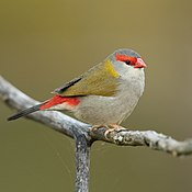 Red-browed Finch - Penrith.jpg