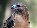 Red-tailed Hawk RWD1.jpg