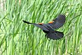 Red-winged Blackbird 02 (cropped).jpg