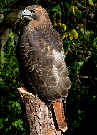 Red-tailed hawk - Characteristic red tail