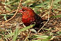 Red Munia Amandava amandava Male by Dr. Raju Kasambe DSCN0824 (8).jpg