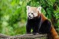 Red Panda (20333722248).jpg