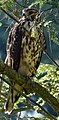 Red Shouldered Hawk Perched.jpg