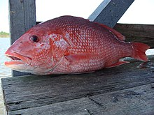 Close-up of a red snapper on weathered dock planks