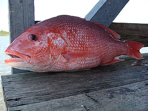 Northern red snapper - Red snapper from the Gulf of Mexico