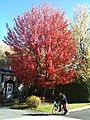 Red Tree Fall 2010 - panoramio.jpg