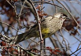 <i>Anthochaera</i> genus of birds