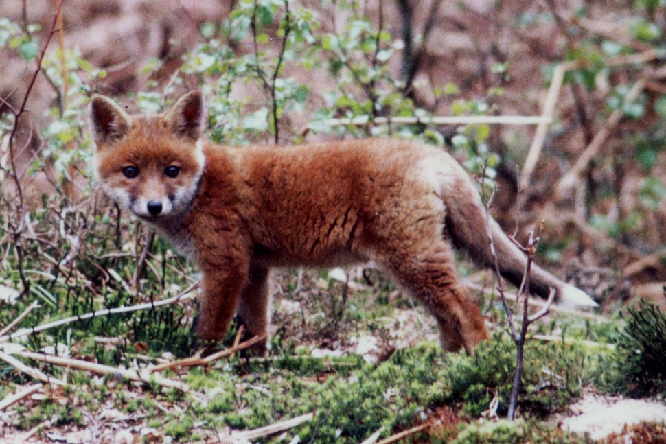 Red fox pup in a forest of Haute-Normandie