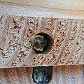 Red mason bee (Osmia bicornis) nest being sealed, Sandy, Bedfordshire (8912344194).jpg