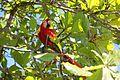 Red parrot (15894420972).jpg