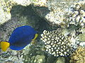 Red sea-reef 3279.jpg