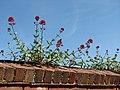 Red valerian (Centranthus ruber) - geograph.org.uk - 837246.jpg