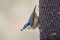 Redbreasted Nuthatch 7142.jpg