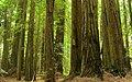 Redwood (993232132).jpg