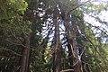 Redwoods (21333775414).jpg