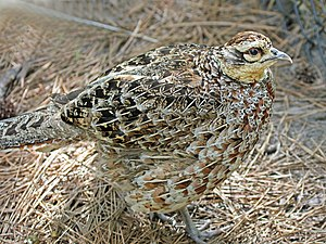Reeves's pheasant - Female
