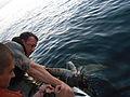 Rescuing a sea turtle 131107-N-ZZ999-012.jpg