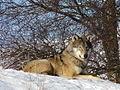 Resting wolf at Highland Wildlife Park, Kincraig - geograph.org.uk - 1159122.jpg
