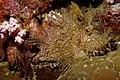 Rhinopias aphanes Lacy scorpionfish Papua New Guinea by Nick Hobgood.jpg