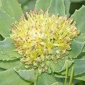 Rhodiola rosea (male flower s2).jpg