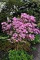 Rhododendron 'Martine' at RHS Garden Hyde Hall, Essex, England.jpg