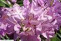 Rhododendron catawbiense Grandiflorum 0zz.jpg