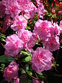 Rhododendron cv. 001.JPG